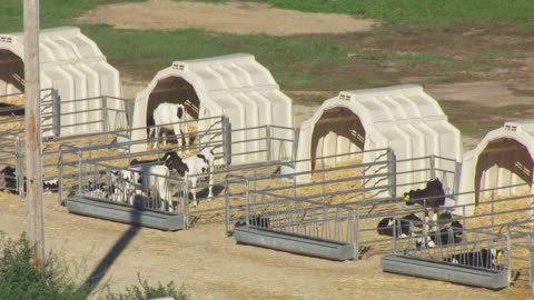 ms aerial view of cows at off campus dairy cattle research center in columbia county / wisconsin, united states - columbia center stock-videos und b-roll-filmmaterial