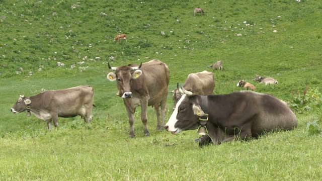 ws view of cows at schlappold alm / oberstdorf, bavaria, germany   - alm stock-videos und b-roll-filmmaterial