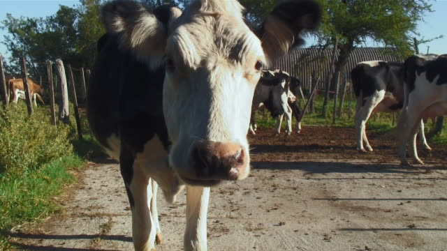 stockvideo's en b-roll-footage met ms view of cows / colonia suiza, uruguay - uruguay
