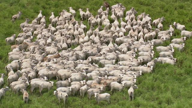 vídeos de stock, filmes e b-roll de ws aerial view of cows in grass / brazil - animal de fazenda