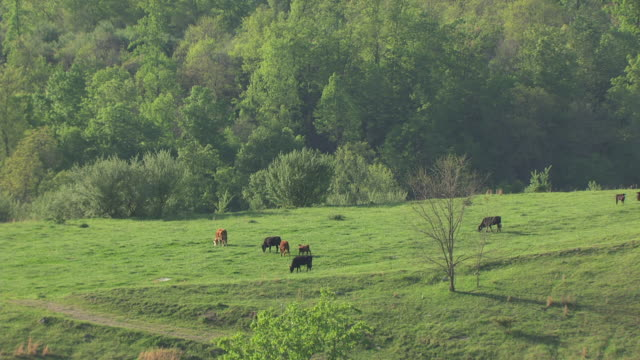 WS AERIAL View of cows on green pasture at Cumberland Plateau / Kentucky, United States