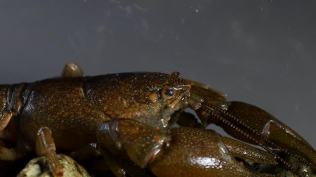 view of crayfish in fresh water stream - flußkrebs tier stock-videos und b-roll-filmmaterial