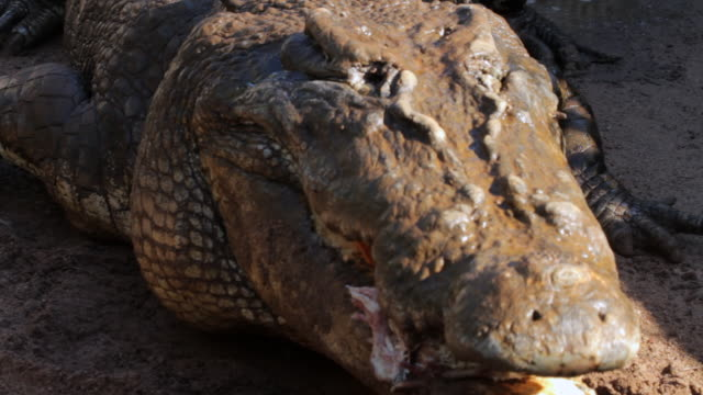 stockvideo's en b-roll-footage met ms view of crocodile eating bait / northern territory, australia - krokodil