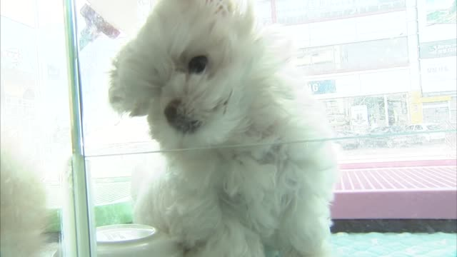 view of cute puppy maltese playing alone in south korea - 可愛らしい点の映像素材/bロール