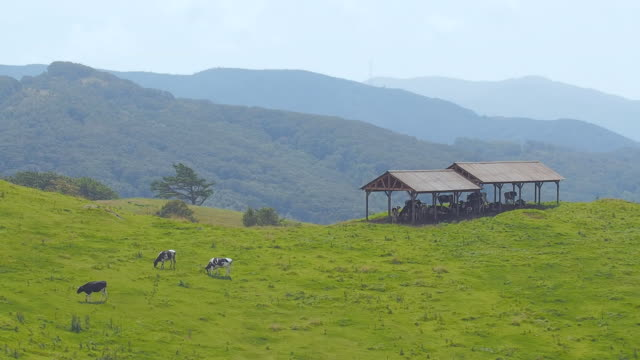 ws view of dairy cattle roaming and feeding on grass in daegwallyeong pasture (tourist attractions) / pyeongchang, gangwon do, south korea - pyeongchang stock videos and b-roll footage