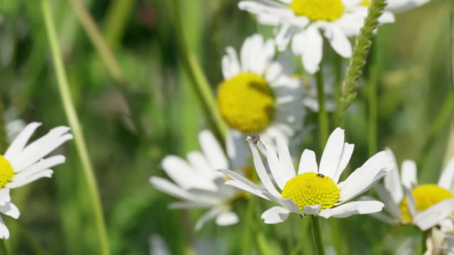 vidéos et rushes de ms slo mo view of daisy flowers blowing enwind / various, united kingdom - marguerite