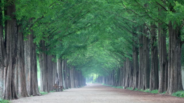 ws view of damyang dawn redwood metasequoia road / damnyanggun, jeollanam-do, south korea - damyang stock videos & royalty-free footage