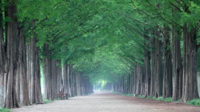 vídeos y material grabado en eventos de stock de ws view of damyang dawn redwood metasequoia road / damnyanggun, jeollanam-do, south korea - bosque de secuoyas