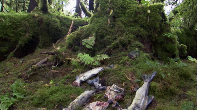 view of dead salmons rotting in a forest - decay stock videos & royalty-free footage
