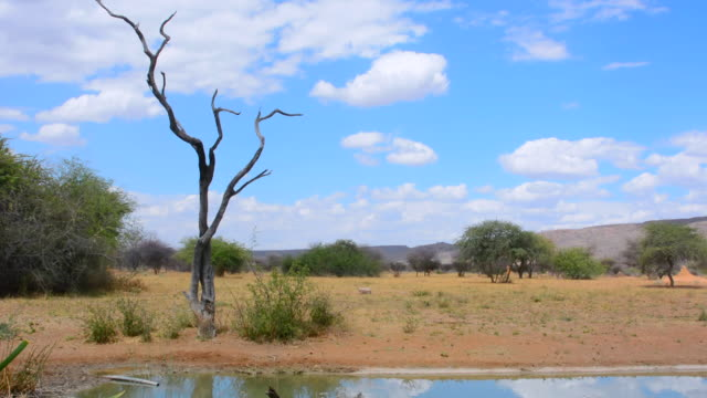 vidéos et rushes de ws view of dead tree and water hole in wild at okonjima bush camp with clouds / windhoek, namibia, south africa - plan d'eau