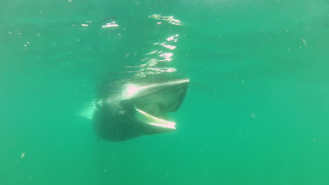 ms zi view of dead whale open mouth and floating in sea / various, united kingdom - cetacea bildbanksvideor och videomaterial från bakom kulisserna
