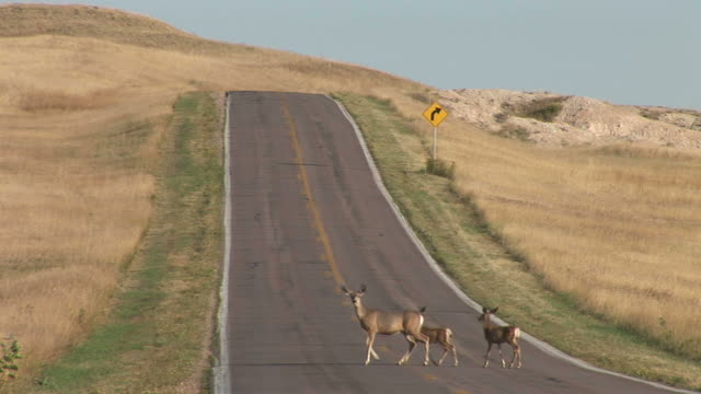 View of deer crossing the road in Badland National Park South Dakota United States