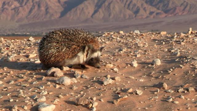 ms zo view of desert hedgehog (paraechinus aethiopicus) looking for food in desert / eilat, negev desert, israel - hedgehog stock videos & royalty-free footage
