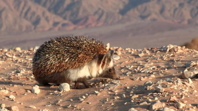 ms zo ts view of desert hedgehog (paraechinus aethiopicus) looking for food in desert / eilat, negev desert, israel - hedgehog stock videos & royalty-free footage