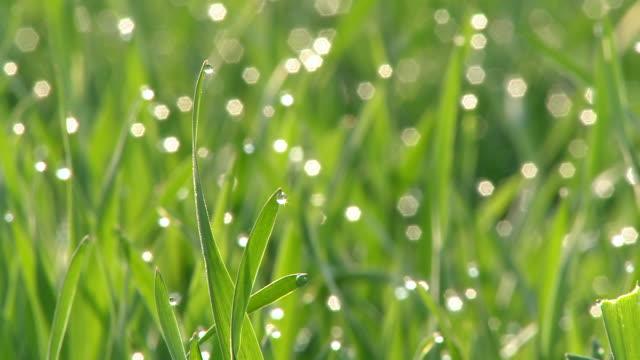 vidéos et rushes de cu view of dewdrops on grass / kastel, rhineland-palatinate, germany - rosée