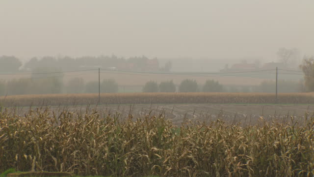 View of distant buildings beyond fields of wheat on a foggy day, Belgium.