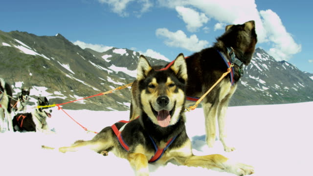 view of dogs resting chugach mountains alaska usa - malamute stock videos and b-roll footage