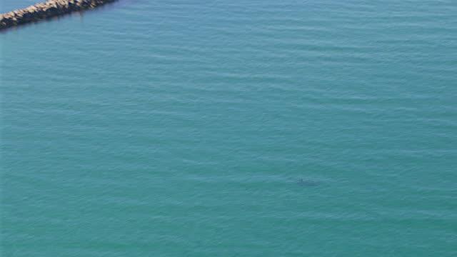 ws aerial zo view of dolphins in sea / adelaide, south australia, australia - cetacea stock videos & royalty-free footage