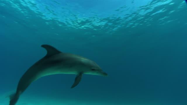 vídeos de stock, filmes e b-roll de ms ts view of  dolphins swimming  audio / florida, united states - roaz
