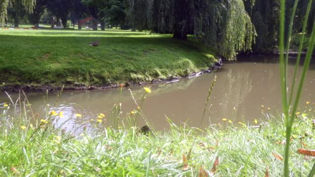 vidéos et rushes de vue des canards dans le parc. - groupe moyen d'animaux