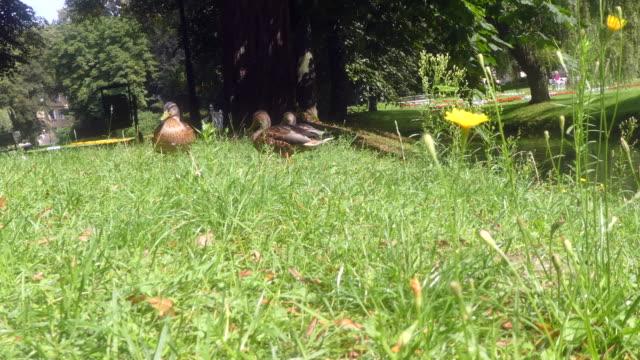 vídeos de stock, filmes e b-roll de vista de patos no parque. - grupo médio de animais