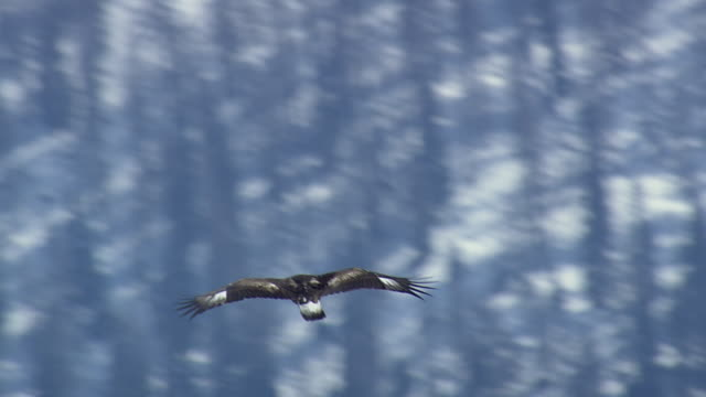 ws aerial view of eagle flying over goms valley / switzerland - utfällda vingar bildbanksvideor och videomaterial från bakom kulisserna