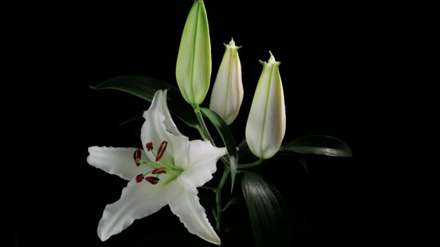 MS T/L View of Easter lily blooming / New York, United States