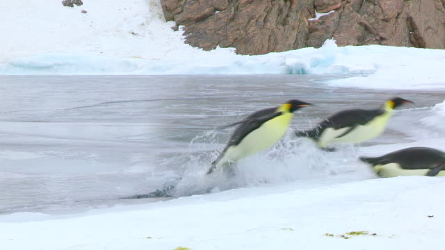 WS PAN View of Edge of sea and ice with Emperor penguins as they jumping out of water onto ice / Dumont D'Urville Station, Adelie Land, Antarctica
