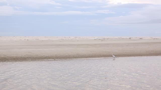 vídeos de stock, filmes e b-roll de ws view of egret bird walking through water / st. simons island, georgia, united states - grupo pequeno de animais