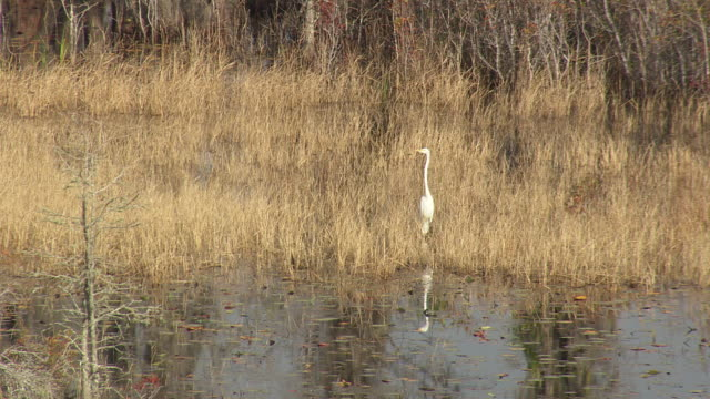 ws aerial view of egret standing at okefenokee swamp / georgia, united states - okefenokee national wildlife refuge stock videos and b-roll footage