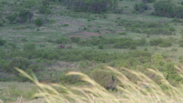 WS View of Elephant grazing and moving to  waterhole / Pilanesberg, Gauteng, South Africa