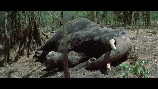 ms view of elephant on ground - アキレス腱点の映像素材/bロール