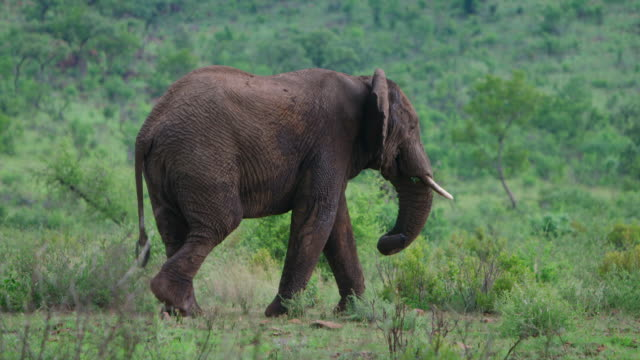 WS TS View of  Elephant walking / Pilanesberg, Gauteng, South Africa