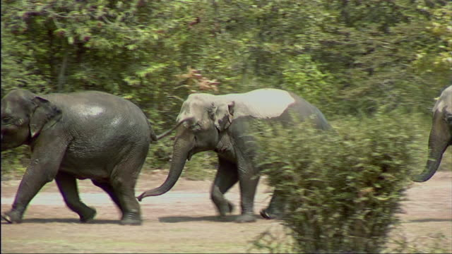 vídeos de stock, filmes e b-roll de ws ts view of elephants running through trees /cambodia - três animais