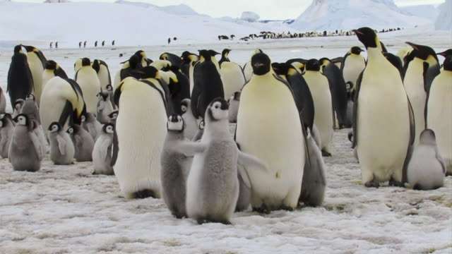 WS View of Emperor Penguin and chick clapping wings / Antarctica