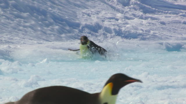 """""""ws ts view of emperor penguin falling through thin ice and struggles out towards firmer ground  / dumont d'urville station, adelie land, antarctica"""" - きまり悪さ点の映像素材/bロール"""
