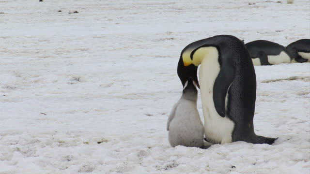 ws view of emperor penguin feeding chick / antarctica - 食べさせる点の映像素材/bロール