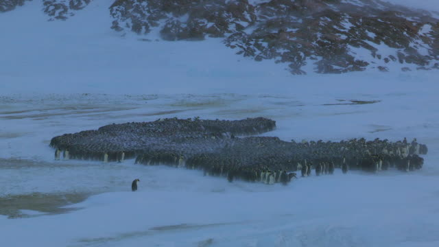 """ws view of emperor penguin massed huddle in blizzard / dumont d urville station, adelie land, antarctica /dumont d urville station, adelie land, antarctica "" - cold temperature stock videos & royalty-free footage"