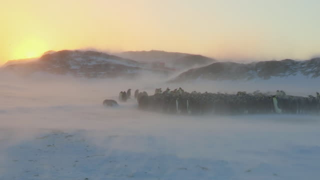 WS View of Emperor penguin massed huddle with sunset behind in heavy blizzard / Dumon D Urville Station, Adleie Land, Antarctica