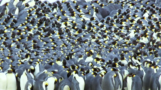 stockvideo's en b-roll-footage met ms t/l view of emperor penguin showing massed huddle packed together then breaking as penguins preen / dumont d'urville station, adelie land, antarctica - grote groep dieren