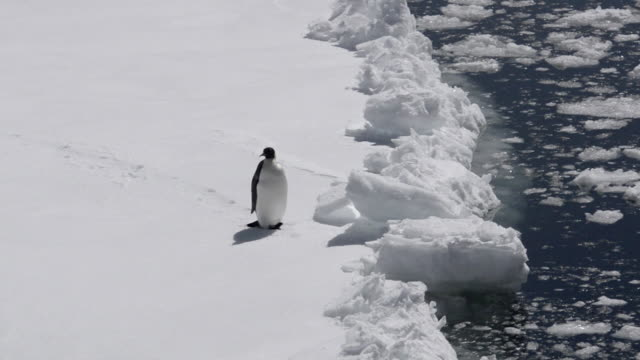 ws pan view of emperor penguin sliding on iceberg / antarctic peninsula, antarctica - antarctica iceberg stock videos & royalty-free footage