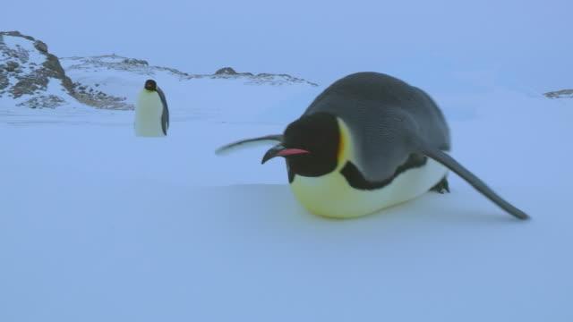 'WS TS LA View of Emperor penguin tobogganing on snow / Dumont D'Urville Station, Adelie Land, Antarctica'