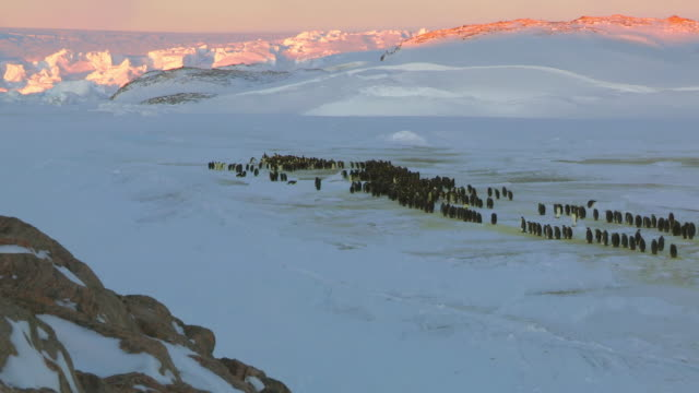 stockvideo's en b-roll-footage met ws t/l view of emperor penguins arriving and forming into huddle as sunsets / dumont d'urville station, adelie land, antarctica - grote groep dieren