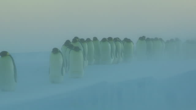 WS View of  Emperor penguins walk directly towards in blizzard on snow / Dumont D Urville Station, Adelie Land,    Antarctica