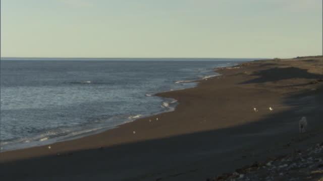 vídeos de stock, filmes e b-roll de ws view of empty beach and ocean in peninsula valdes / puerto madryn, chubut, argentina - grupo médio de animais