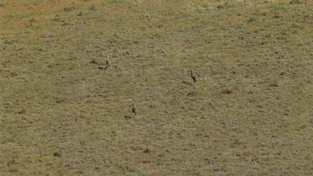ws aerial zi zo view of emus / melbourne, victoria, australia - emu stock videos & royalty-free footage