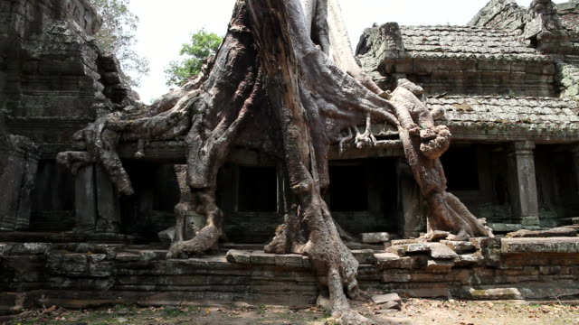 ws view of enormous tree and roots growing  over ruins / siem reap, siem reap, cambodia - newoutdoors stock videos & royalty-free footage