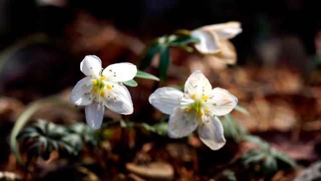 view of eranthis byunsanensis (blossom winter aconite) - ranunkel stock-videos und b-roll-filmmaterial