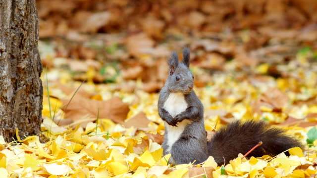view of eurasian red squirrel in yangjae citizen's forest, seocho-gu, seoul, south korea - rodent stock videos & royalty-free footage