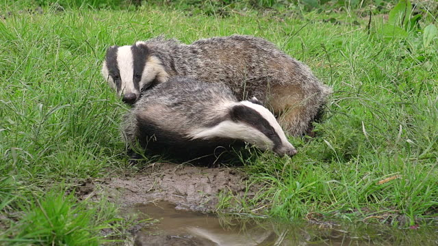 ws view of european badger pair sitting on grass / calvados, normandy, france - pair stock videos and b-roll footage
